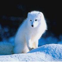 爱美的狐狸